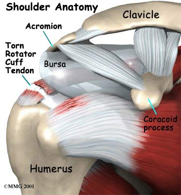 rotator-cuff-tear-anatomy